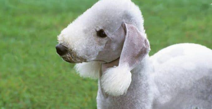 5 Best Puppy Foods For Bedlington Terriers