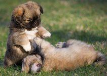 5 Best Puppy Foods For Tibetan Spaniels