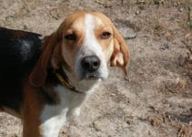 Best Dog Beds For American Foxhounds