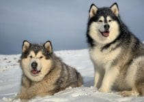 5 Best Dog Beds for Alaskan Malamutes (Reviews Updated 2021)