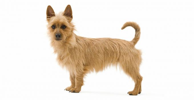 Best Dog Beds For Australian Terriers
