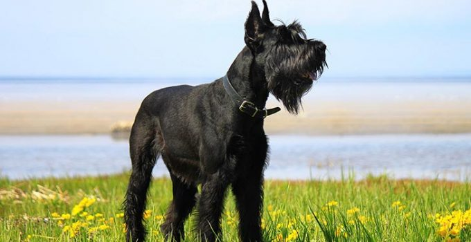 Best Dog Beds For Giant Schnauzers