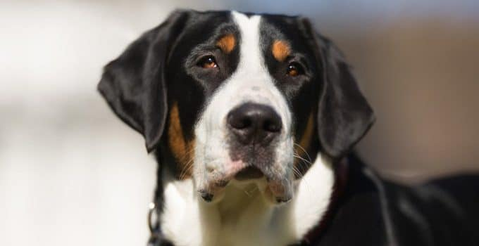 Best Dog Beds For Greater Swiss Mountain Dogs