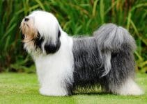5 Best Dog Beds for Tibetan Terriers (Reviews Updated 2021)