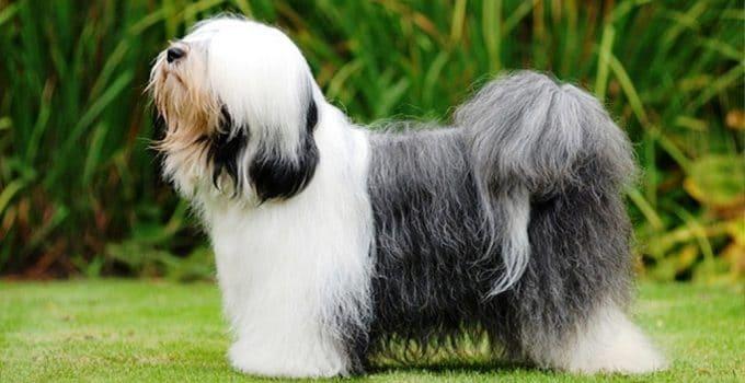 Best Dog Beds For Tibetan Terriers