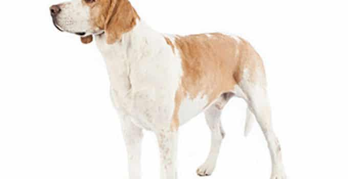 Best Dog Brush For American Foxhounds