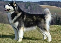 5 Best Dog Brushes for Alaskan Malamutes (Reviews Updated 2021)