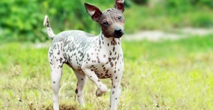 Best Dog Brushes For American Hairless Terriers