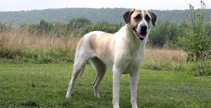 Best Dog Brushes For Anatolian Shepherd Dogs
