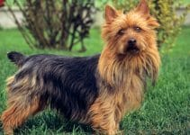 Best Dog Brushes For Australian Terriers