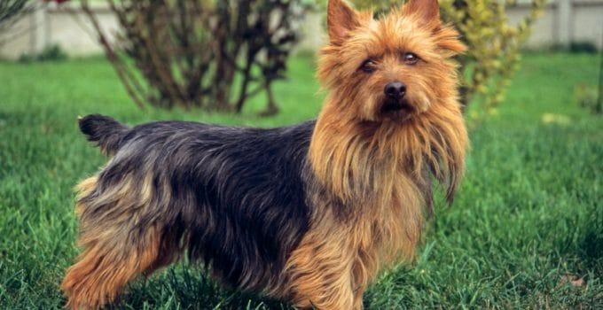 Best Dog Brushes For Australian Terriers