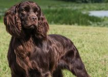 5 Best Dog Brushes for Boykin Spaniels (Reviews Updated 2021)