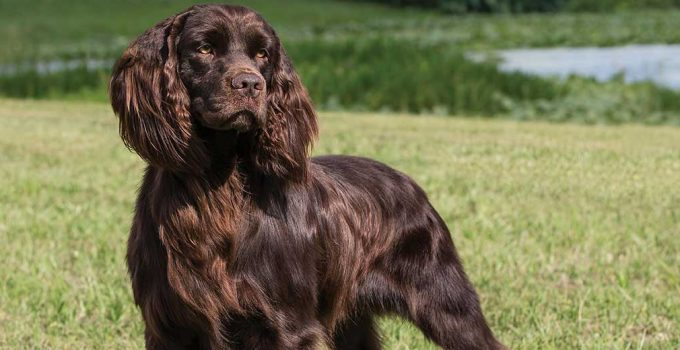 Best Dog Brushes For Boykin Spaniels