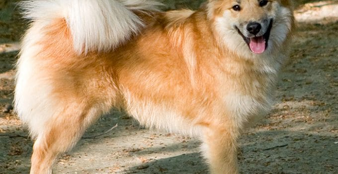 Best Dog Brushes For Icelandic Sheepdogs