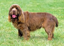 5 Best Dog Brushes for Sussex Spaniels (Reviews Updated 2021)