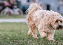 Best Dog Brushes For Tibetan Terriers