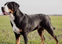 5 Best Dog Collars For Greater Swiss Mountain Dogs (Reviews Updated 2021)