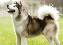 Best Dog Collars For Alaskan Malamutes