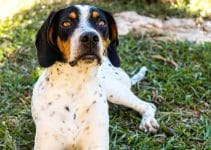 5 Best Dog Collars for American Foxhounds (Reviews Updated 2021)