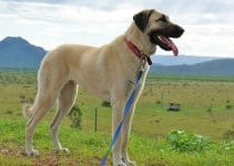 5 Best Dog Collars for Anatolian Shepherd Dogs (Reviews Updated 2021)