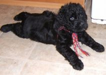 Best Dog Collars For Black Russian Terriers