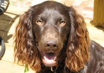 5 Best Dog Collars for Boykin Spaniels (Reviews Updated 2021)