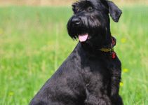 5 Best Dog Collars for Giant Schnauzers (Reviews Updated 2021)