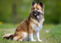 Best Dog Collars For Icelandic Sheepdogs