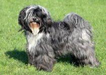 Best Dog Collars For Tibetan Terriers