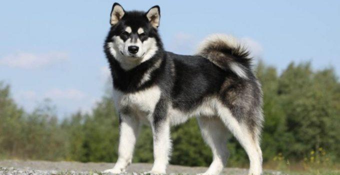 Best Dog Crates For Alaskan Malamutes