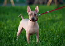 Best Dog Crates For American Hairless Terriers