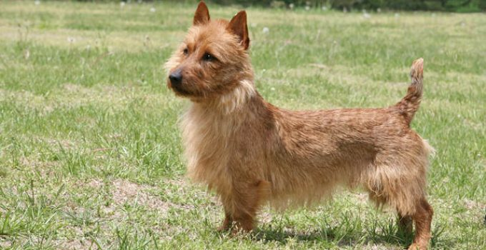 Best Dog Crates For Australian Terriers