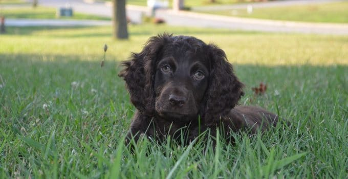 Best Dog Crates For Boykin Spaniels