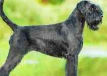 Best Dog Crates For Giant Schnauzers