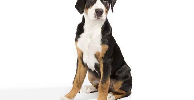 Best Dog Crates For Greater Greater Swiss Mountain Dogs