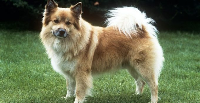 Best Dog Crates For Icelandic Sheepdogs