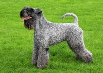 5 Best Dog Crates for Kerry Blue Terriers (Reviews Updated 2021)