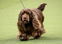 5 Best Dog Crates for Sussex Spaniels (Reviews Updated 2021)