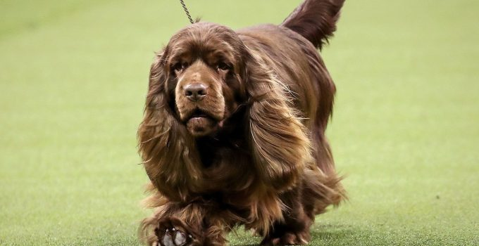 Best Dog Crates For Sussex Spaniels