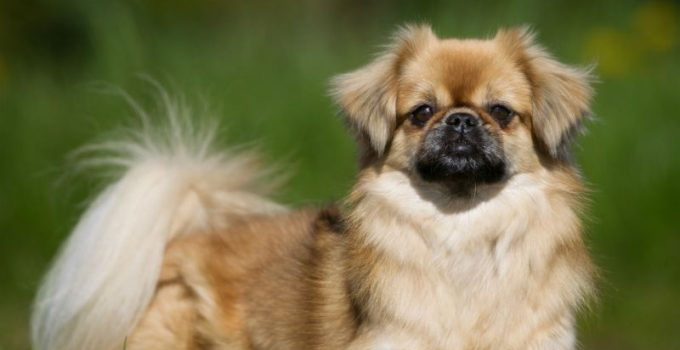 Best Dog Crates For Tibetan Spaniels