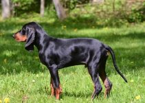 5 Best Dog Foods for Black and Tan Coonhounds (Reviews Updated 2021)