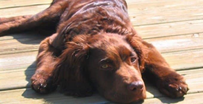 Best Dog Foods For Boykin Spaniels