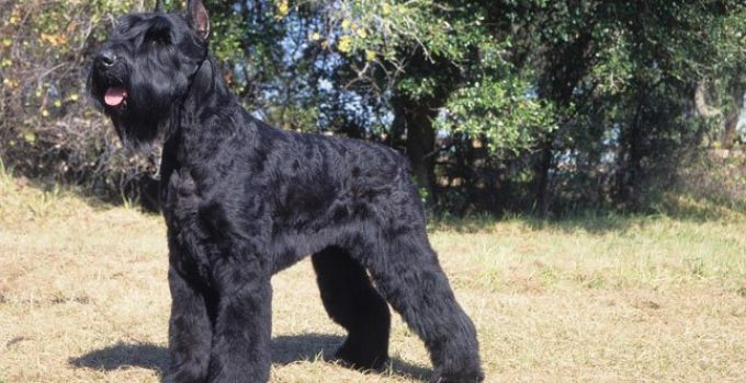 Best Dog Foods For Giant Schnauzers