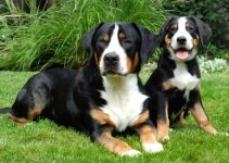 Best Dog Foods For Greater Swiss Mountain Dogs