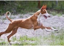 Best Dog Foods For Ibizan Hounds
