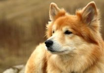 5 Best Dog Foods for Icelandic Sheepdogs (Reviews Updated 2021)