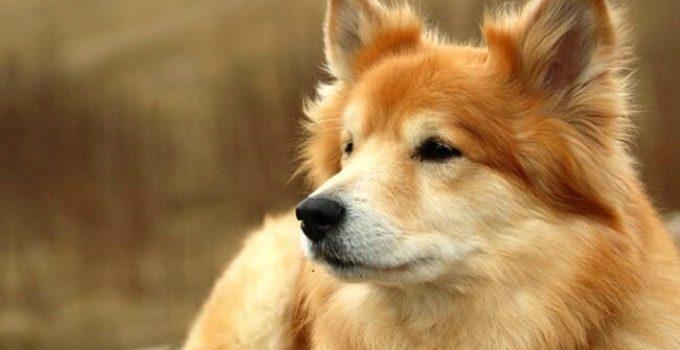 Best Dog Foods For Icelandic Sheepdogs