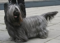 Best Dog Foods For Skye Terriers