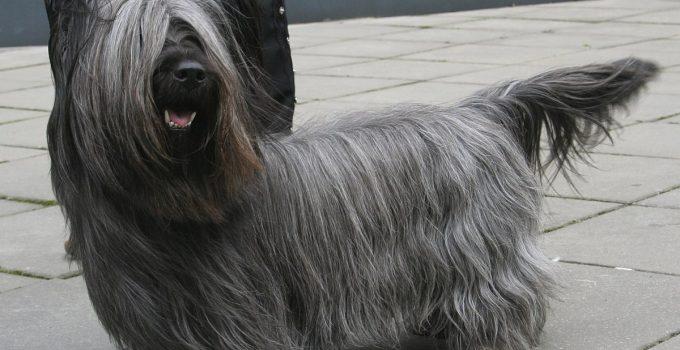 Best Dog Foods For Skye Terriers