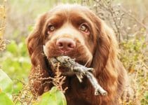 Best Dog Foods For Sussex Spaniels